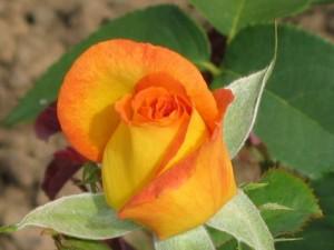 Rosebud of Kennett Square variety